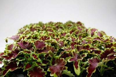 Coleus Under The Sea Electric Coral